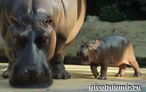 Гиппопотам-животное-Образ-жизни-и-среда-обитания-гиппопотама-5