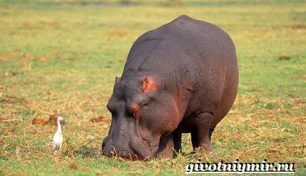 Гиппопотам-животное-Образ-жизни-и-среда-обитания-гиппопотама-6
