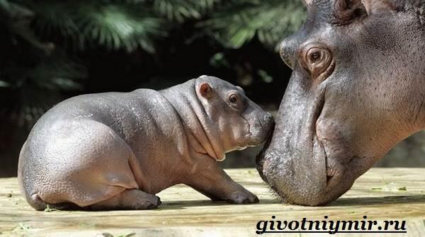 Гиппопотам-животное-Образ-жизни-и-среда-обитания-гиппопотама-7