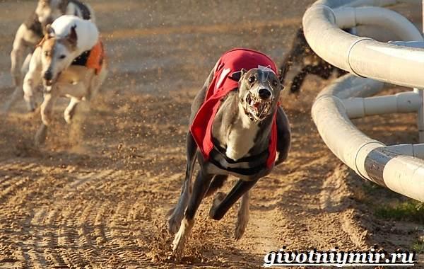 Грейхаунд-собака-Описание-особенности-уход-и-цена-грейхаунда-5