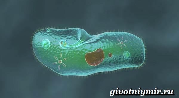 Инфузория-туфелька-Образ-жизни-и-среда-обитания-инфузории-туфельки-1