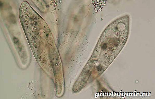 Инфузория-туфелька-Образ-жизни-и-среда-обитания-инфузории-туфельки-2