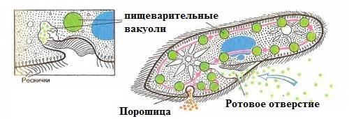 Инфузория-туфелька-Образ-жизни-и-среда-обитания-инфузории-туфельки-3