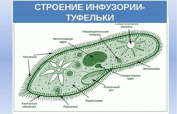Инфузория-туфелька-Образ-жизни-и-среда-обитания-инфузории-туфельки-4