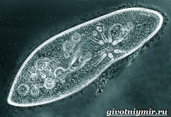 Инфузория-туфелька-Образ-жизни-и-среда-обитания-инфузории-туфельки-5