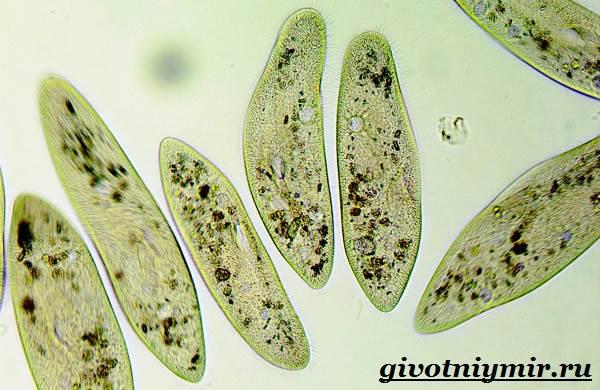 Инфузория-туфелька-Образ-жизни-и-среда-обитания-инфузории-туфельки-7