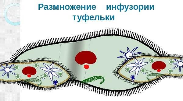 Инфузория-туфелька-Образ-жизни-и-среда-обитания-инфузории-туфельки-9