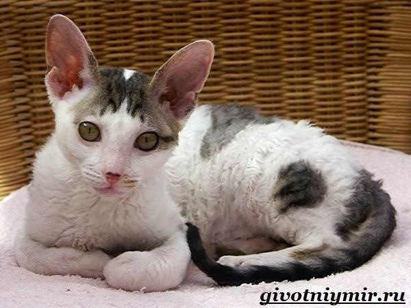Корниш-рекс-кошка-Описание-особенности-уход-и-цена-за-породой-кошек-корниш-рекс-1
