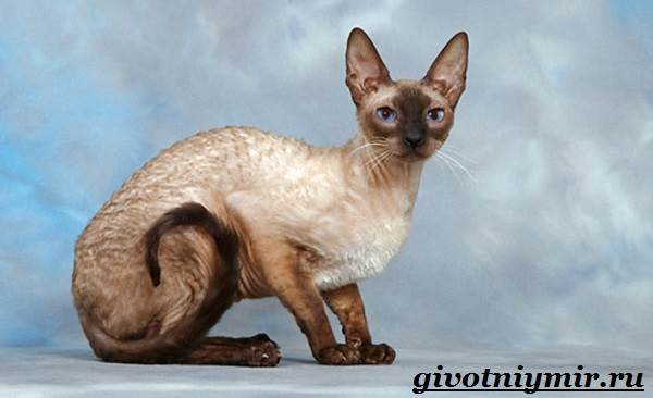 Корниш-рекс-кошка-Описание-особенности-уход-и-цена-за-породой-кошек-корниш-рекс-3