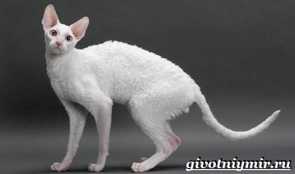 Корниш-рекс-кошка-Описание-особенности-уход-и-цена-за-породой-кошек-корниш-рекс-4