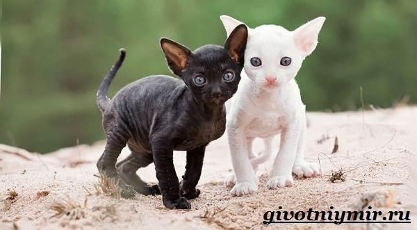 Корниш-рекс-кошка-Описание-особенности-уход-и-цена-за-породой-кошек-корниш-рекс-6