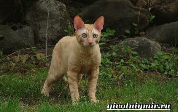 Корниш-рекс-кошка-Описание-особенности-уход-и-цена-за-породой-кошек-корниш-рекс-7