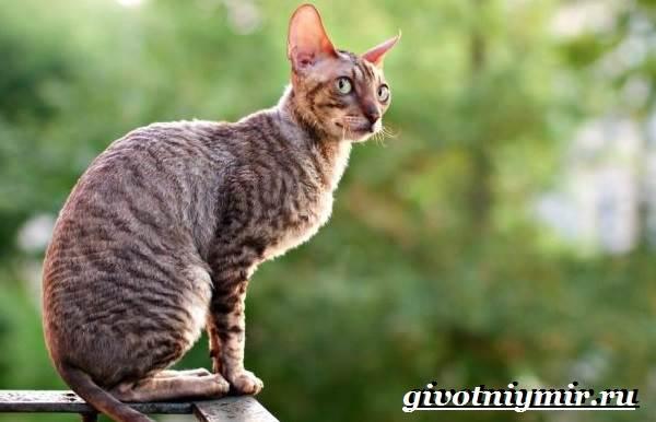 Корниш-рекс-кошка-Описание-особенности-уход-и-цена-за-породой-кошек-корниш-рекс-8