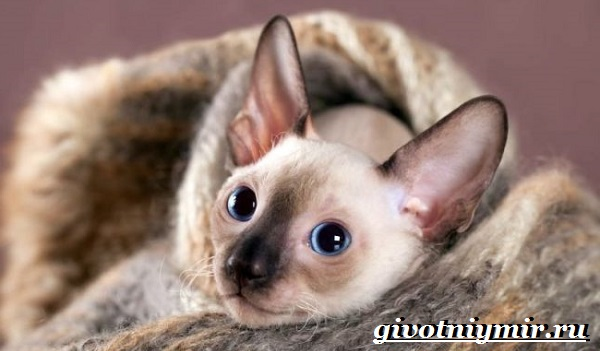 Корниш-рекс-кошка-Описание-особенности-уход-и-цена-за-породой-кошек-корниш-рекс-9