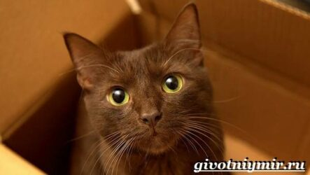 Кошка гавана. Описание, особенности, уход и цена кошки гаваны