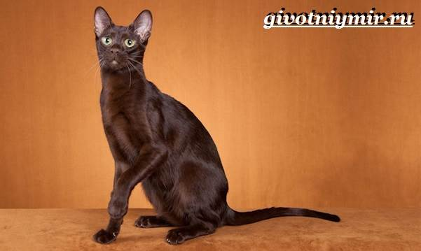 Кошка-гавана-Описание-особенности-уход-и-цена-кошки-гаваны-2
