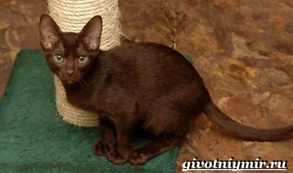 Кошка-гавана-Описание-особенности-уход-и-цена-кошки-гаваны-4