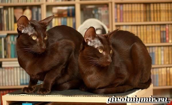 Кошка-гавана-Описание-особенности-уход-и-цена-кошки-гаваны-7