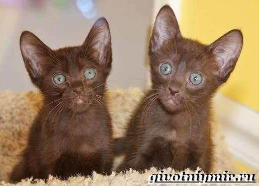 Кошка-гавана-Описание-особенности-уход-и-цена-кошки-гаваны-8