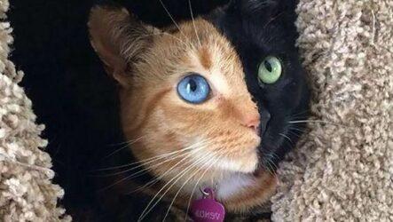 Кошка Венера. Особенности, красота и фото двуликой кошки Венеры