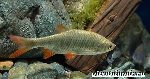 Красноперка-рыба-Образ-жизни-и-среда-обитания-красноперки-1