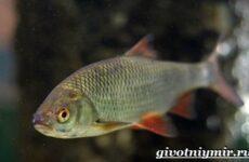 Красноперка рыба. Образ жизни и среда обитания красноперки