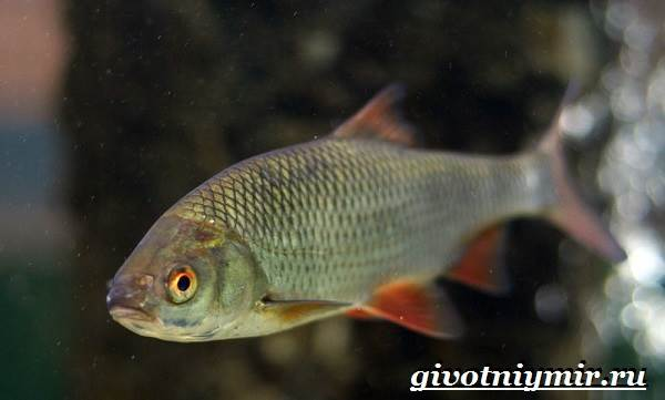 Красноперка-рыба-Образ-жизни-и-среда-обитания-красноперки-2