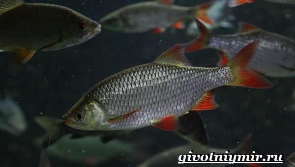Красноперка-рыба-Образ-жизни-и-среда-обитания-красноперки-5