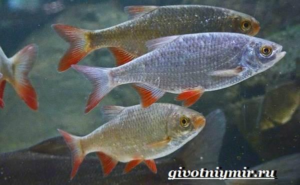 Красноперка-рыба-Образ-жизни-и-среда-обитания-красноперки-6