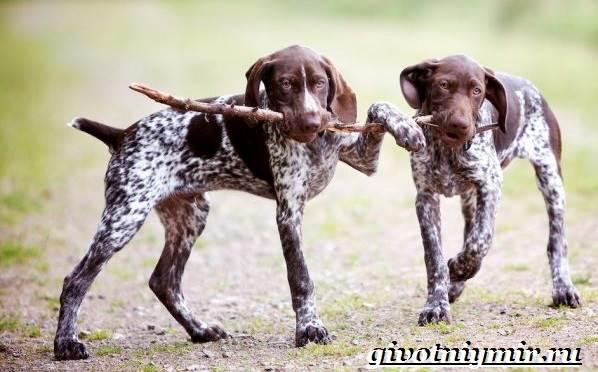 Курцхаар собака