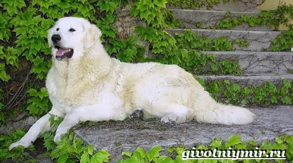 Кувас-собака-Описание-особенности-уход-и-цена-породы-кувас-1