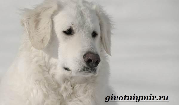 Кувас-собака-Описание-особенности-уход-и-цена-породы-кувас-2