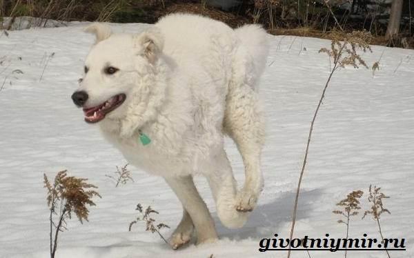 Кувас-собака-Описание-особенности-уход-и-цена-породы-кувас-3
