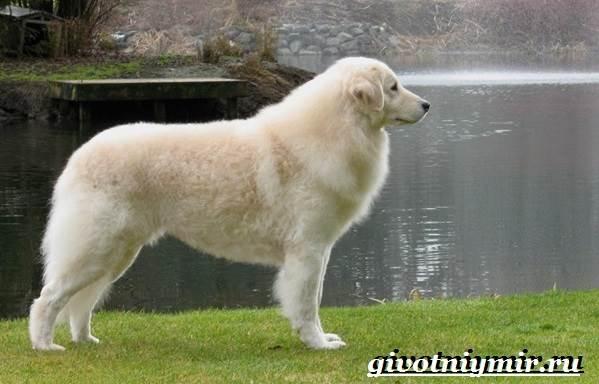 Кувас-собака-Описание-особенности-уход-и-цена-породы-кувас-4