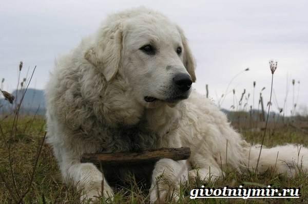 Кувас-собака-Описание-особенности-уход-и-цена-породы-кувас-5