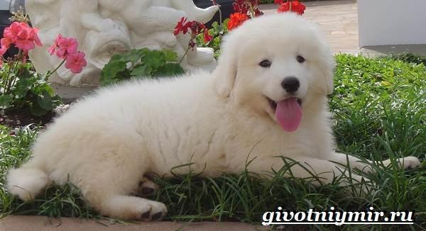 Кувас-собака-Описание-особенности-уход-и-цена-породы-кувас-6