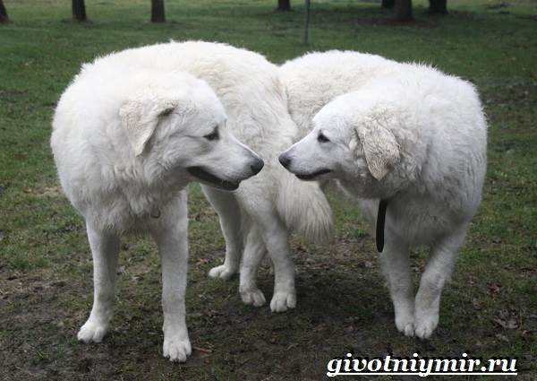 Кувас-собака-Описание-особенности-уход-и-цена-породы-кувас-7