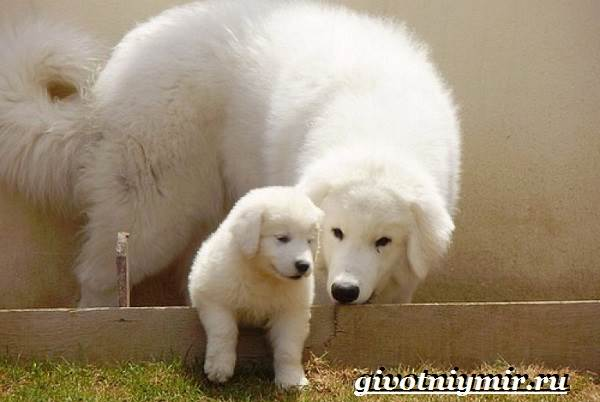 Кувас-собака-Описание-особенности-уход-и-цена-породы-кувас-8