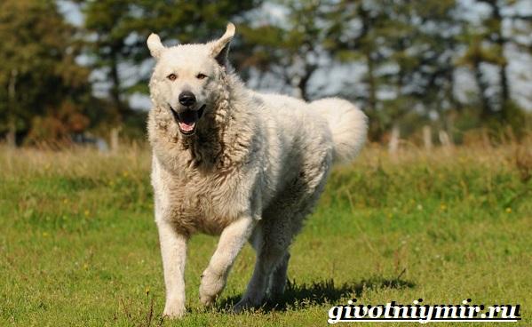 Кувас-собака-Описание-особенности-уход-и-цена-породы-кувас-9