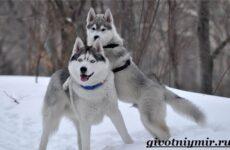Лайка собака. Описание, особенности, уход и цена собаки лайка