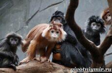 Лангур обезьяна. Образ жизни и среда обитания обезьяны лангур