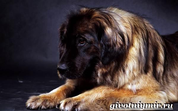 Леонбергер-собака-Описание-особенности-уход-и-цена-леонбергера-1