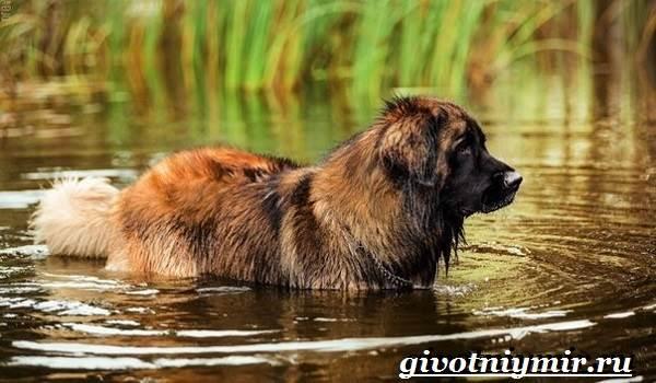 Леонбергер-собака-Описание-особенности-уход-и-цена-леонбергера-5