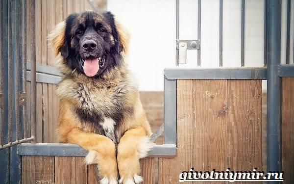 Леонбергер-собака-Описание-особенности-уход-и-цена-леонбергера-6