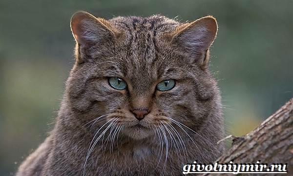 Кавказская лесная кошка приручаем дикого зверя