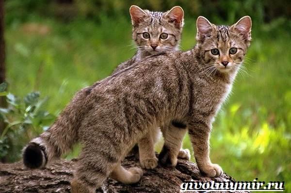 Лесной-кот-Образ-жизни-и-среда-обитания-лесного-кота-10