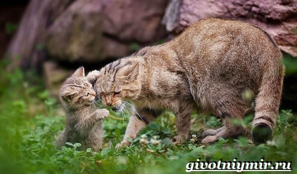 Дикие лесные кошки