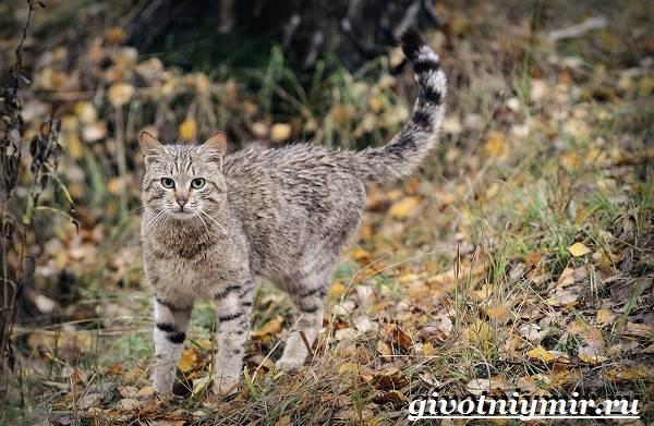 Лесной-кот-Образ-жизни-и-среда-обитания-лесного-кота-2