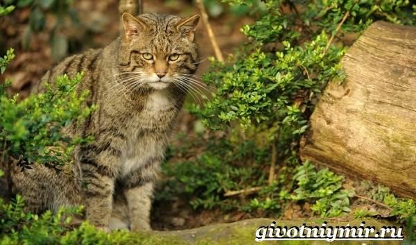 Лесной-кот-Образ-жизни-и-среда-обитания-лесного-кота-3