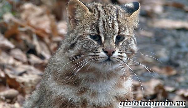 Лесной-кот-Образ-жизни-и-среда-обитания-лесного-кота-4